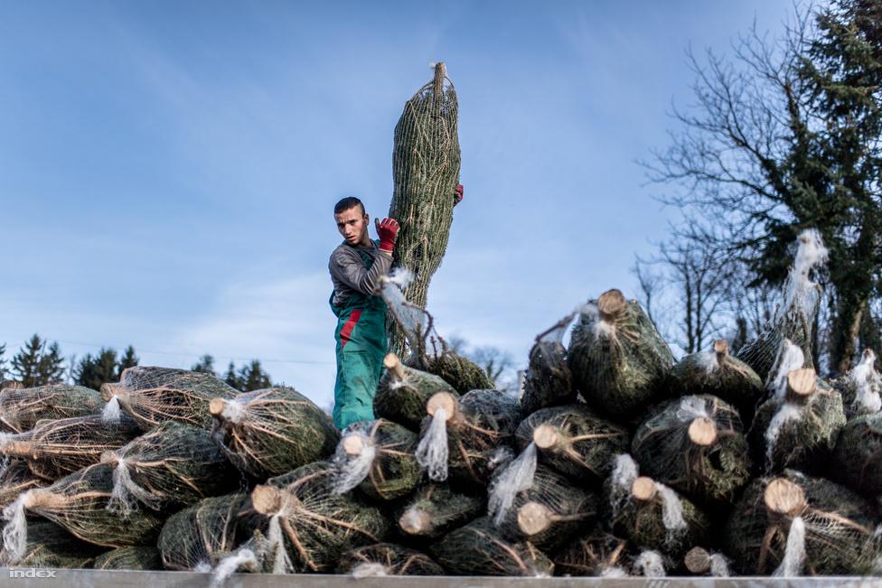 A kitermelt fák szállítását egy részét saját fuvarban oldják meg a fenyőfások, többségében azonban vállalkozókat fogadnak fel erre a feladatra.