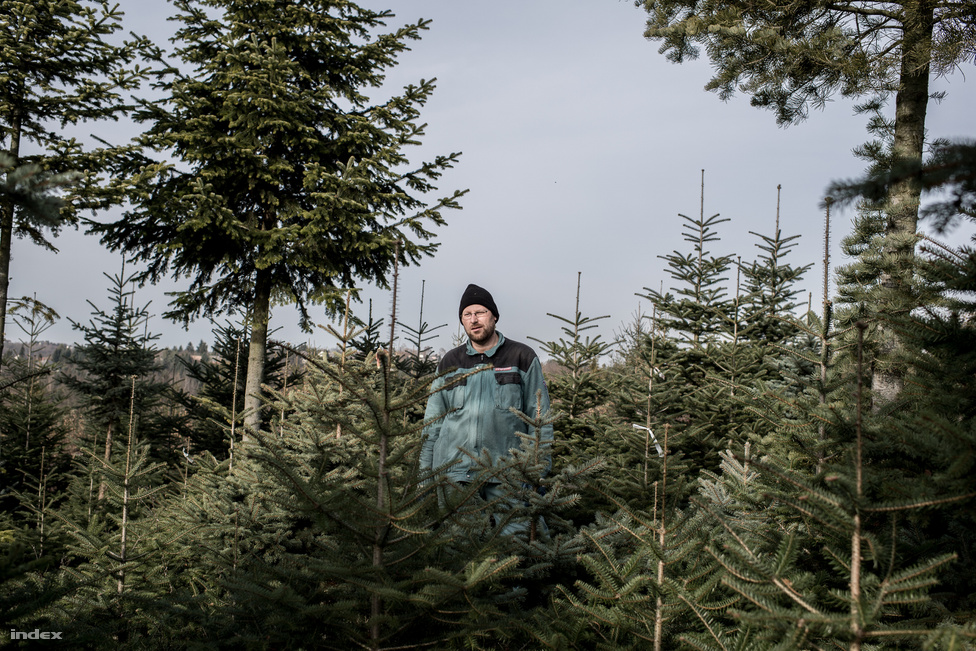 A fák kivágásának december elején látnak neki, ilyenkor szalaggal jelölik meg a kivágandó fákat.