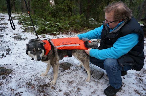 Chilipaprikát tartalmazó mentőmellényt rögzít egy kutyára a gazdája Finnországban