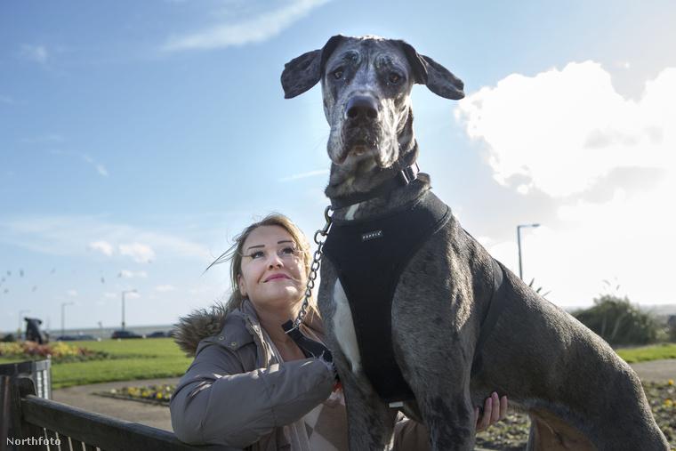 Bár ő hivatalosan nincs bejegyezve, mint a világ legnagyobb kutyája, de az biztos, hogy jelenleg ő tartja ezt a rekordot