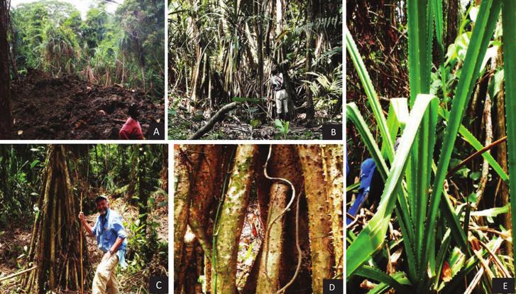 A. Kifejlett Pandandus candelabrum fa a háttérben, az előtérben kitermelt kimberlit. B. Pandanus facsoport. C. Akár 2,5 méteresre is megnövő Pandanus candelabrum léggyökerek. D. Tüskék borítják a fa léggyökereit. E. A kifejlett pálma levelei szintén tüskések.