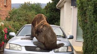 Ön mit tenne, ha egy óriási oroszlánfóka mászna az autójára?