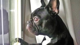 Carrie Fisher kutyája az ablakból nézve várja haza gazdáját - így gyászolják a sztárok a színésznőt
