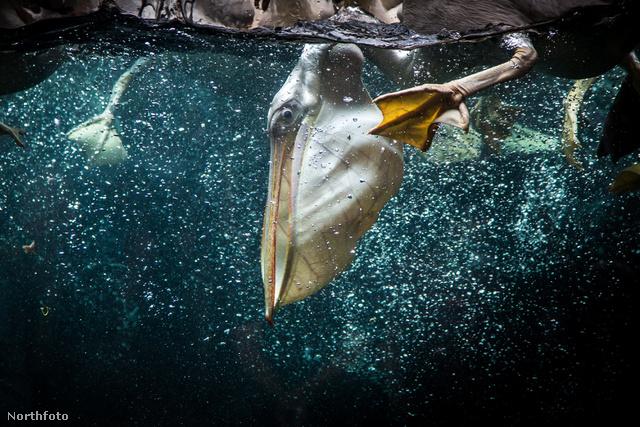 Különleges felvétel: pelikán a Jurong Parkban étkezés közben