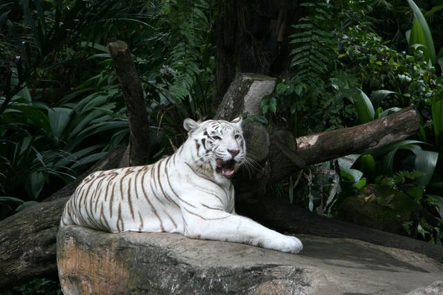 Gyönyörűség: fehér bengáli tigris