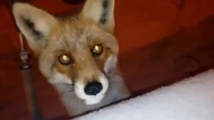 De mit keresett ez a róka Kaposvár belvárosában?
