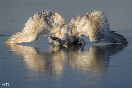 A 10 kilós madarat a Tisza-tavon ejtette  fogságba a jég