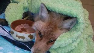 Jobban van a népszigeti stéghez fagyva talált róka