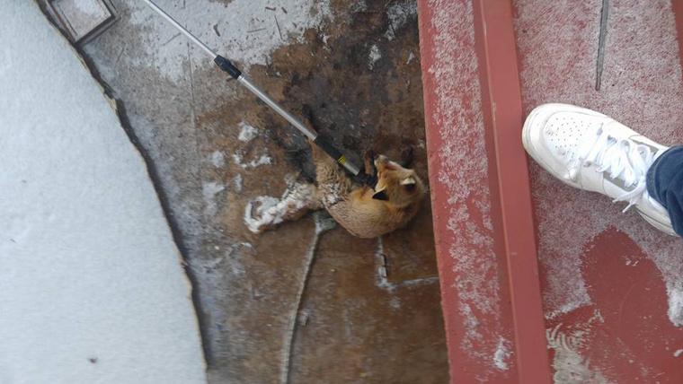 A Fagyi névre keresztelt rókát az Állatmentő Liga szabadította ki a jég fogságából