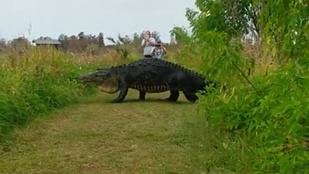És akkor egy hatalmas aligátor átsétált az úton