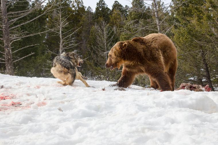 Ez pedig már a küzdelem vége, a farkasok kénytelenek otthagyni a nehezen megszerzett zsákmányukat