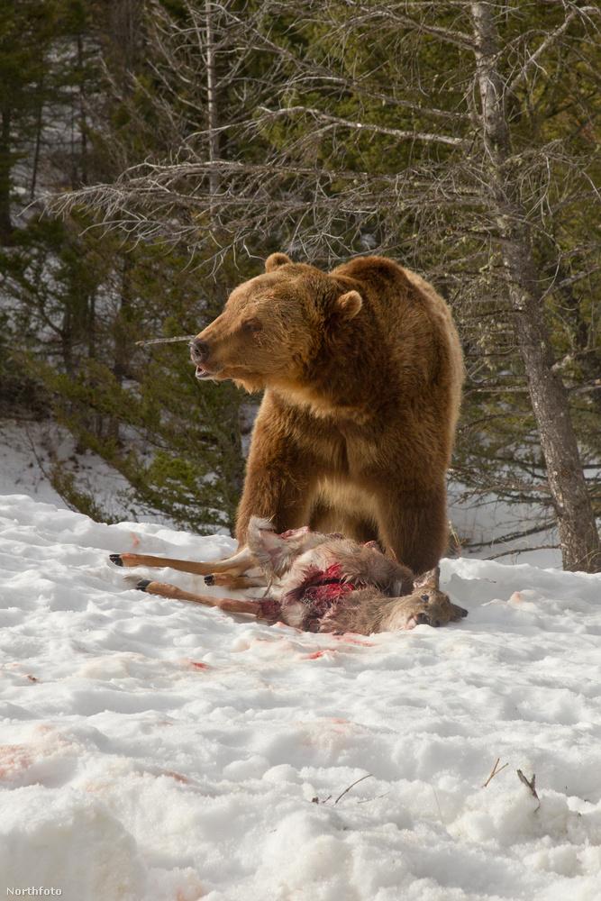 A grizzly elűzte a vetélytársait