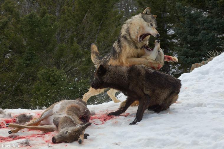 A farkasok nem hagyják magukat, megküzdenek a betolakodóval