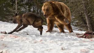 Ilyen közelről még biztosan nem látta grizzly és farkas küzdelmét