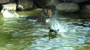 Itt a bátor kacsa, aki szembeszállt egy tigrissel
