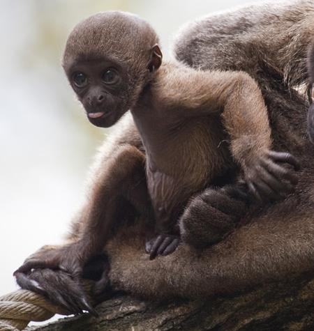 Gyapjasmajom-kölyök született a hollandiai Apenheul állatparkban