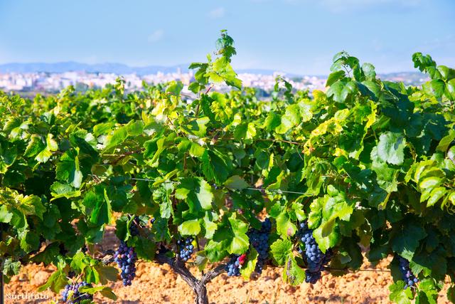 Valenciai bor embriókorában