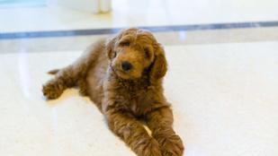 Obamával a kutyái is mennek: ő lehet az új elnöki eb