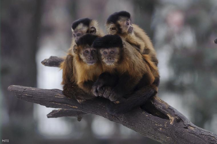 A kapucnis majmok jogosan teszik fel a kérdést, hogy ők is hivatalosak-e az eseményre