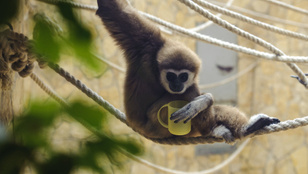 Az angolok is megirigyelhetik a debreceni majmok teázási szokásait