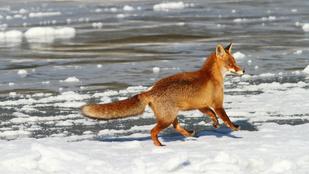 Most egy tóban találtak jégbe fagyott rókát