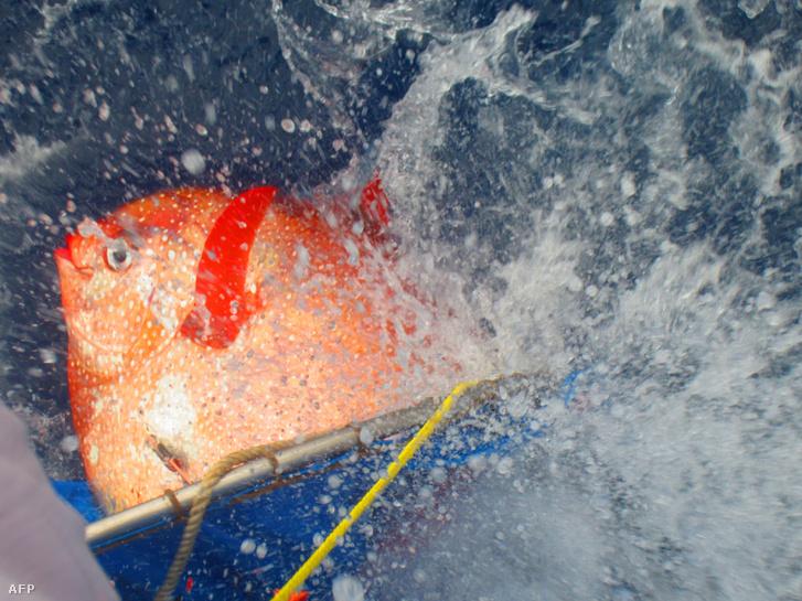 A NOAA tudósai szenzorokat erősítettek a halra, és a kapott adatokat feldolgozva állapították meg, hogy az opah meleg vérű állat