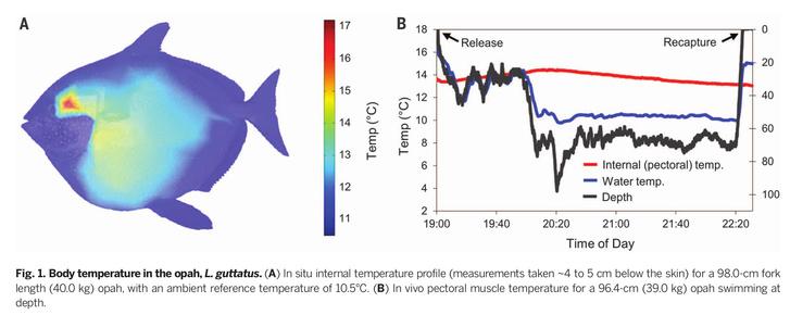 Az opah hőtérképe (A), és mellizmai hőmérsékletének állandósága a víz mélységéhez és hőmérsékletéhez képest (B)