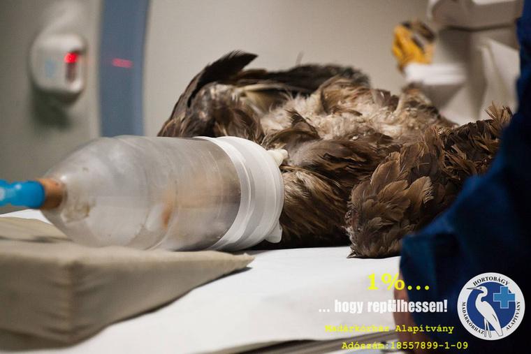 Bogyó 2 naponta kapott masszázst és gyógytornával is próbálkoztak nála, de az MR vizsgálattól sokat remélnek az orvosok, hátha választ kapnak arra, miért nem akarja használni a lábát a ragadozó madár