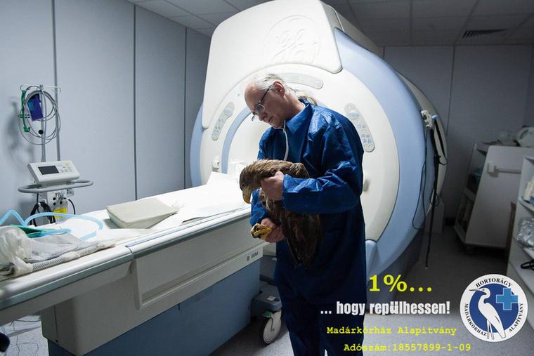 A világon talán elsőként MR felvételt készítettek egy sérült rétisasról a napokban a Hortobágyi Madárkórházban