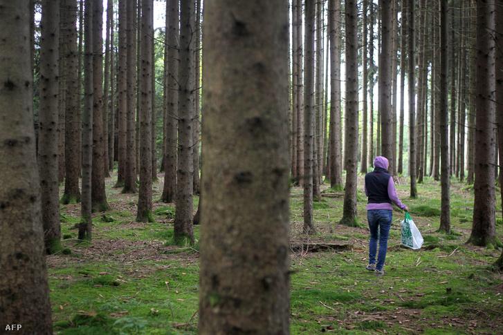 Egy gombász kirándul az erdőben Németországban.