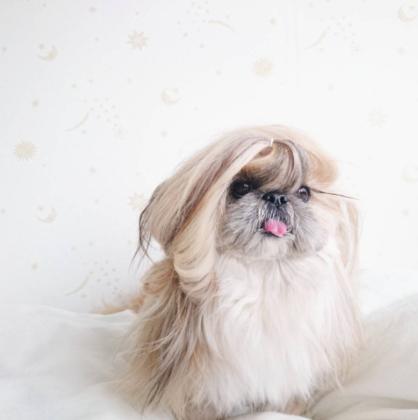 Ismerje meg Kuma-t a Japán kutyalányt, aki simán elmehetne egy női modellnek.