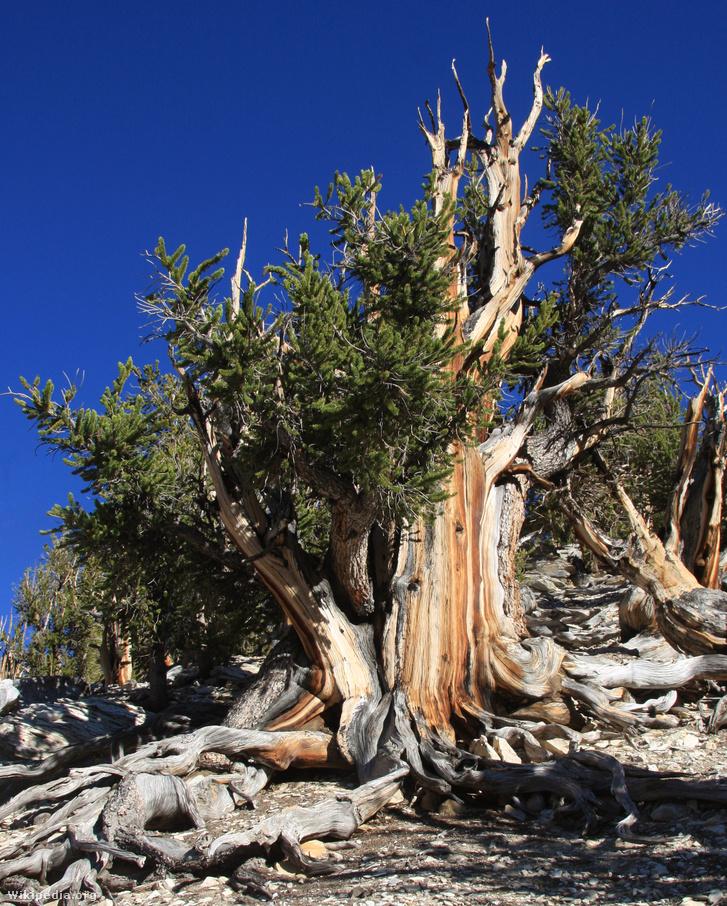 Big bristlecone pine Pinus longaeva