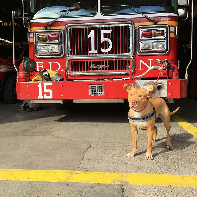 Ashley, a zabálnivaló pitbull egy New York-i tűzoltóörs állományát erősíti, és le sem tagadhatná, hogy mennyire imádja a munkáját