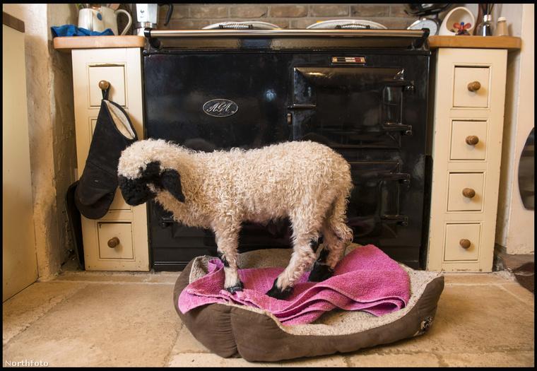 Az egy dolog, hogy bemehet a házba, de a báránynak van saját ágyikója is.