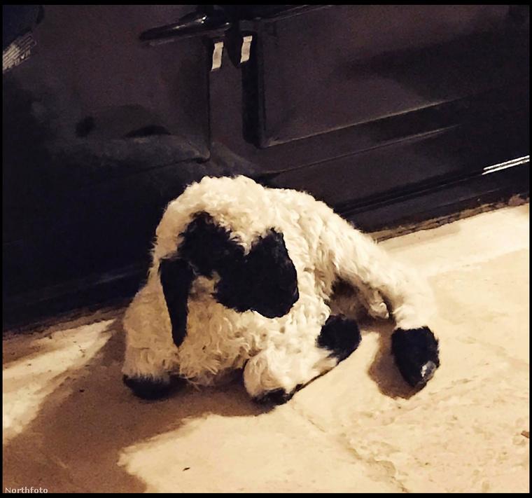 Barryt a kis bárányt születése után elhagyta az anyja, de szerencsére jött Emma és befogadta.