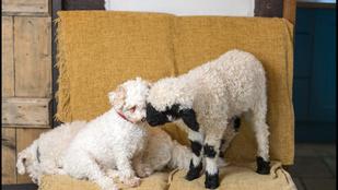 A bárány, akinek kutya egy élete van