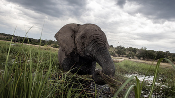 Az elefántok letaposnak mindent, de ez áldás a klímának