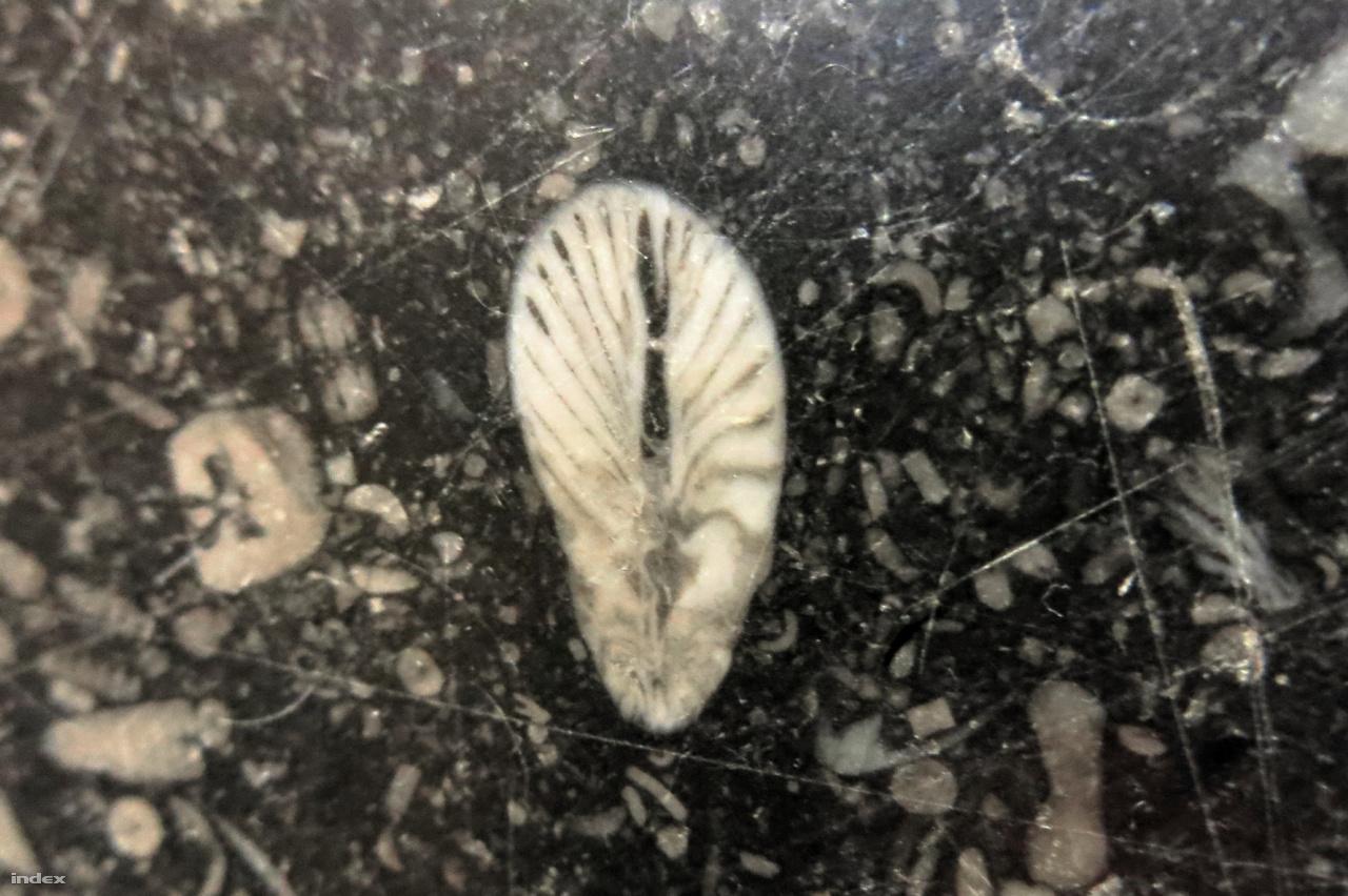 """Az alsó-karbon korú, a díszítőkőiparban """"belga márvány vagy (tévesen) belga gránit, petit granite (kis gránit)""""-ként emlegetett tengeri mészkőben hemzsegnek az egykor volt őslények."""