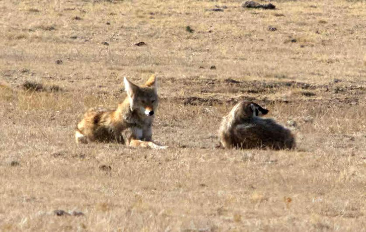 coyote-and-badger-2.jpg.838x0 q80