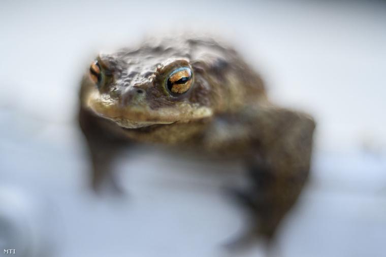 Tavaly az önkéntesek segítségével 7800 állatot vittek át az aszfalton a vizes élőhelyekre.