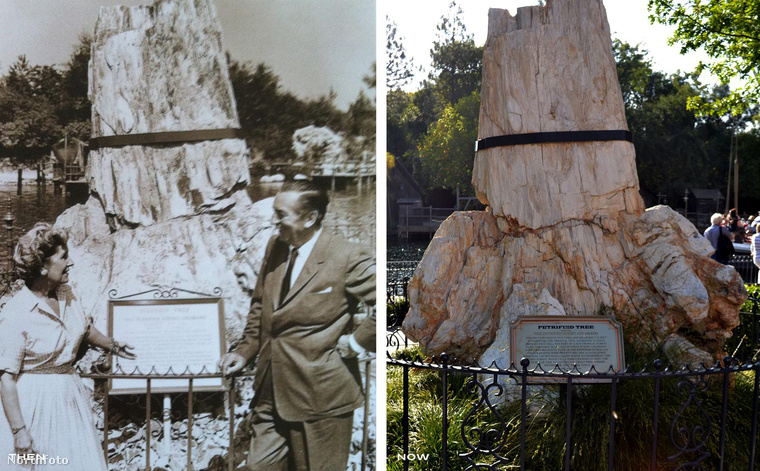 Íme Walt Disney, megannyi jól ismert rajzfilmsorozat és karakter megalkotója és felesége, Lilian Disney a megkövült fa előtt