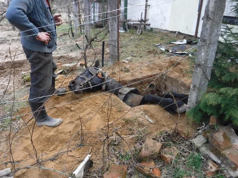 Szomorú látvány, ahogy szegény állat fekszik a szűk gödörben és mozdulni sem tudott.