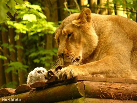 swns owl pussycat 010034671