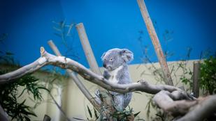 Nagyon nincs jól Nur-Nuru-Bin, a budapesti állatkert koalája