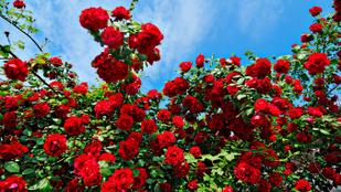 Rózsatövek miatt csapta fejbe ásóval a szomszédját egy püspökladányi nő