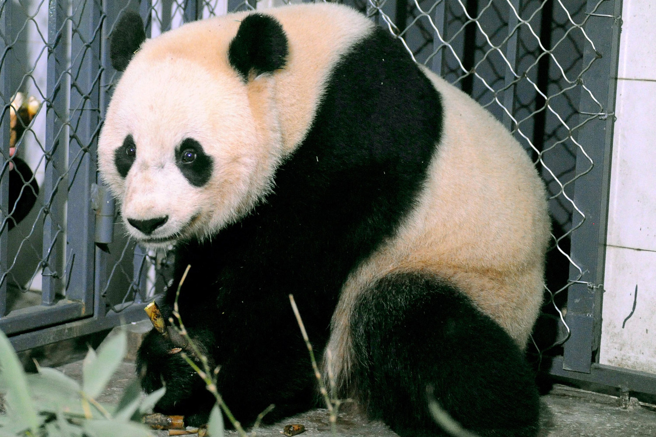 nagykep?cikkid=170221&kep=panda-lead