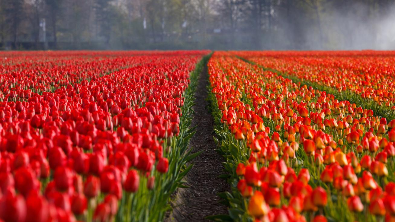 tulipan cover