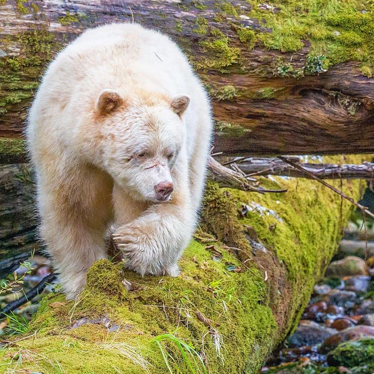 A világ egyik legritkább medvéje, a szellem medve.