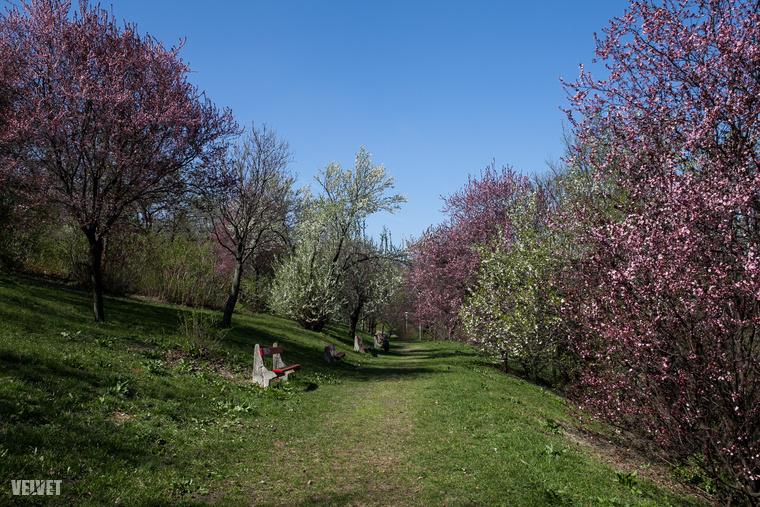 Ha még a napokban teheti, induljon el a Gellért-hegy Hegyalja út felőli lejtőin, hiszen ilyen csodás virágzó fák várják
