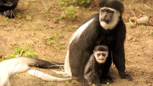 Gereza majom bébi született a Nyíregyházi Állatparkban